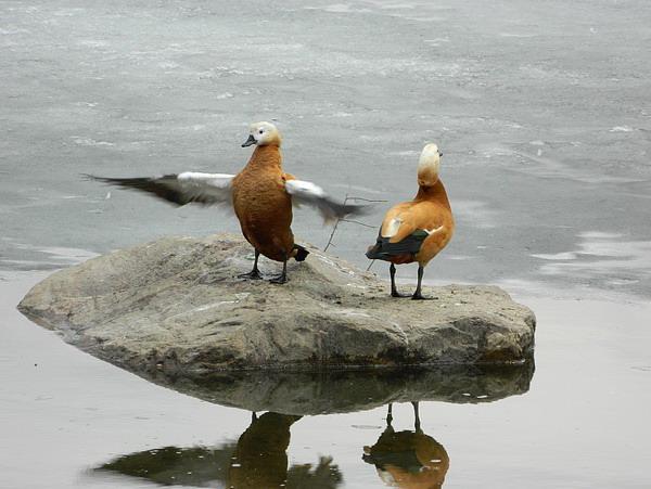 Огарь - красная утка (Tadorna ferruginea) Red_duck_04