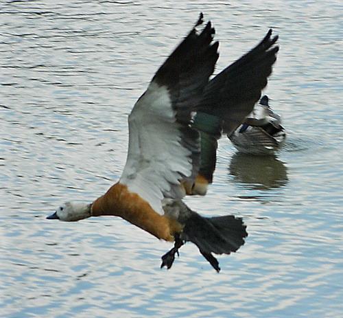 Огарь - красная утка (Tadorna ferruginea) Red_duck_05
