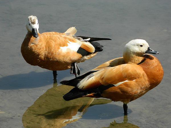 Огарь - красная утка (Tadorna ferruginea) Red_duck_06