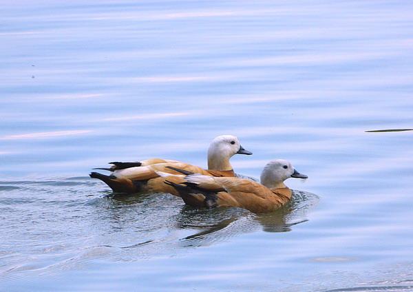 Огарь - красная утка (Tadorna ferruginea) Red_duck_07