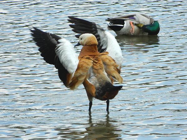Огарь - красная утка (Tadorna ferruginea) Red_duck_08