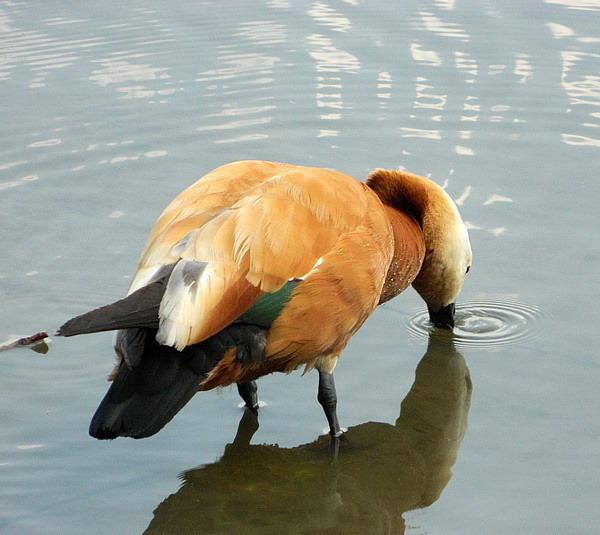 Огарь - красная утка (Tadorna ferruginea) Red_duck_09