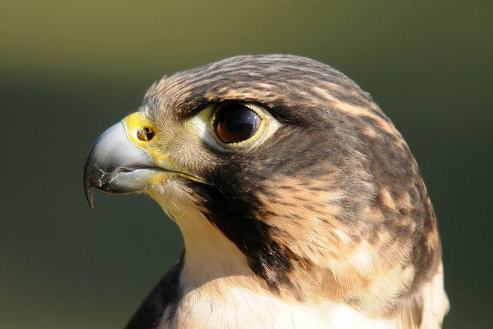 птица -  Сапсан (Falco peregrinus) – самая быстрая птица на планете Falco_peregrinus_01