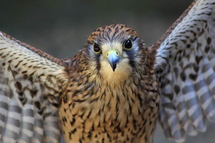 птица -  Сапсан (Falco peregrinus) – самая быстрая птица на планете Falco_peregrinus_02