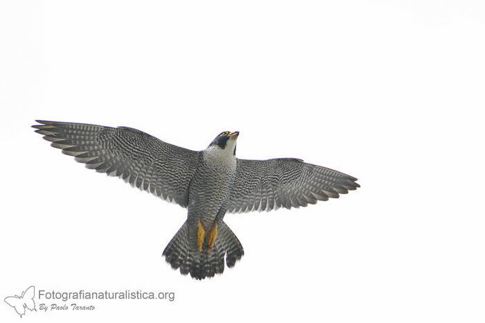 птица -  Сапсан (Falco peregrinus) – самая быстрая птица на планете Falco_peregrinus_03