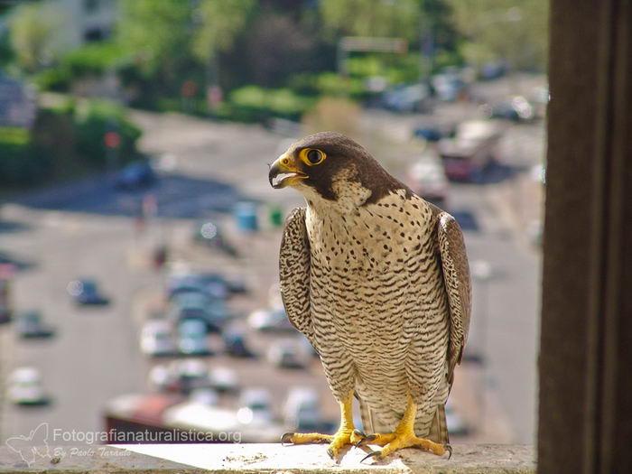 птица -  Сапсан (Falco peregrinus) – самая быстрая птица на планете Falco_peregrinus_04