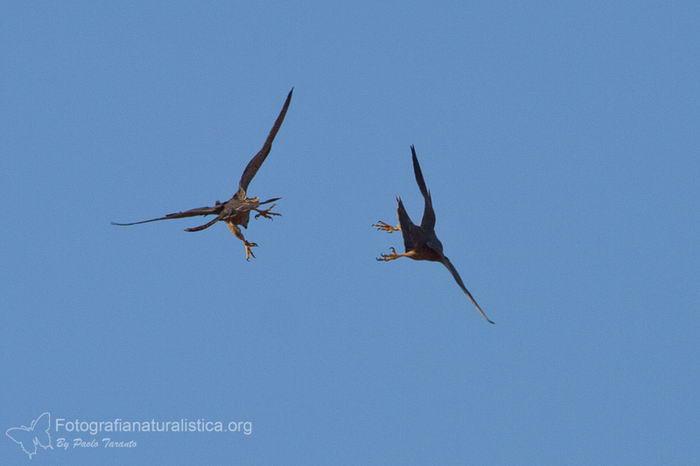 птица -  Сапсан (Falco peregrinus) – самая быстрая птица на планете Falco_peregrinus_06