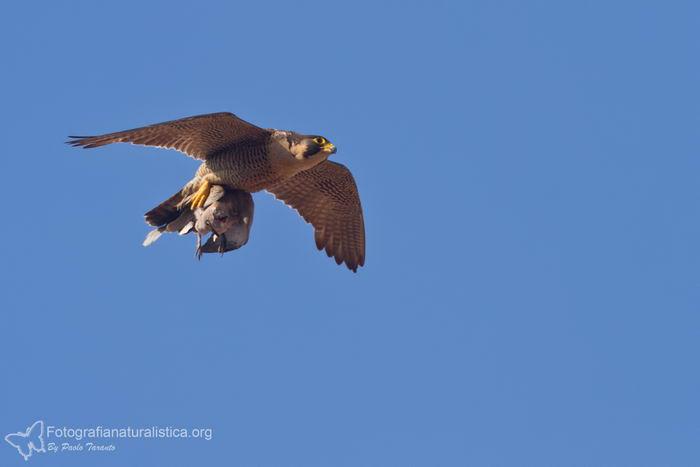 птица -  Сапсан (Falco peregrinus) – самая быстрая птица на планете Falco_peregrinus_07