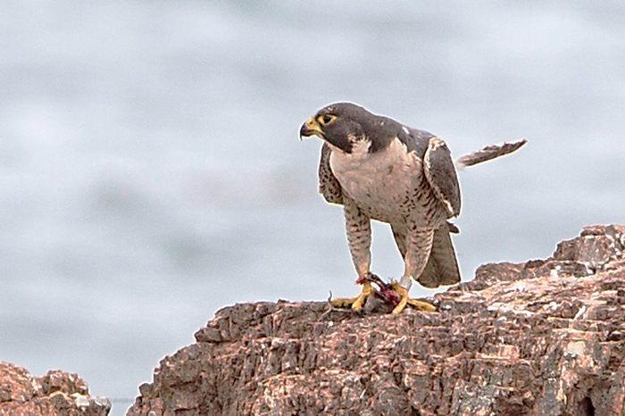 птица -  Сапсан (Falco peregrinus) – самая быстрая птица на планете Falco_peregrinus_08