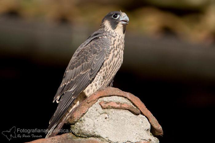 птица -  Сапсан (Falco peregrinus) – самая быстрая птица на планете Falco_peregrinus_09