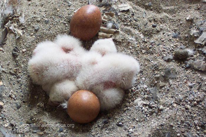 птица -  Сапсан (Falco peregrinus) – самая быстрая птица на планете Falco_peregrinus_11