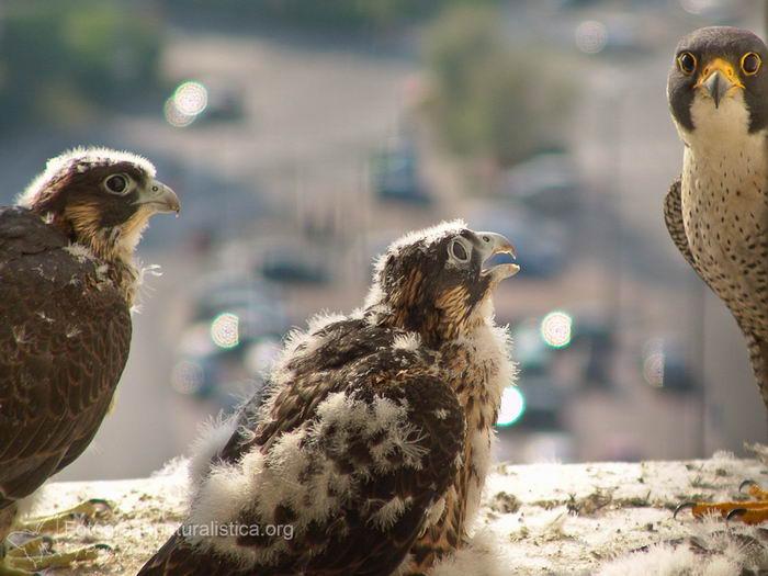 птица -  Сапсан (Falco peregrinus) – самая быстрая птица на планете Falco_peregrinus_13