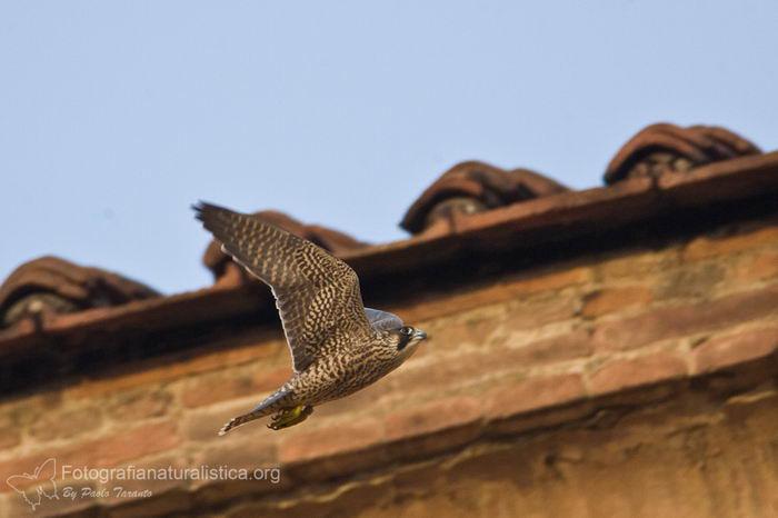 птица -  Сапсан (Falco peregrinus) – самая быстрая птица на планете Falco_peregrinus_14