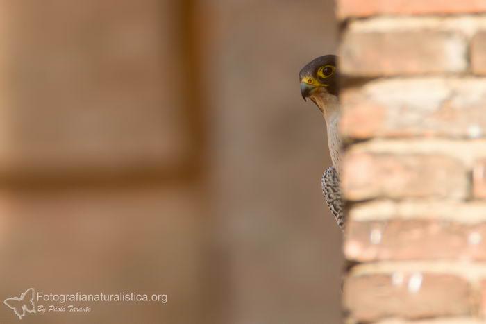 птица -  Сапсан (Falco peregrinus) – самая быстрая птица на планете Falco_peregrinus_15