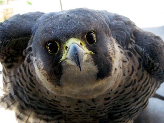 птица -  Сапсан (Falco peregrinus) – самая быстрая птица на планете Falco_peregrinus_16