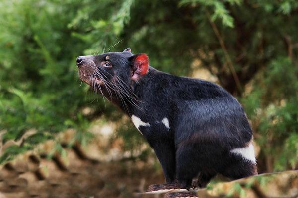 Тасманский дьявол, или сумчатый дьявол (Sarcophilus harrisii) Tasmanian_evil_01