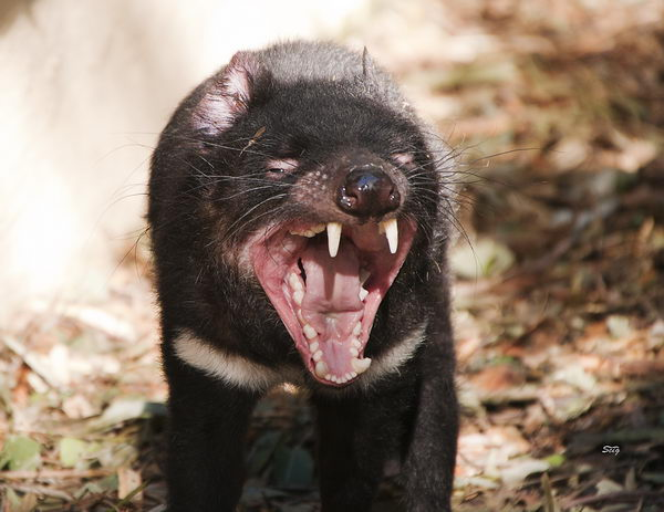 Тасманский дьявол, или сумчатый дьявол (Sarcophilus harrisii) Tasmanian_evil_04