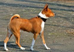 Собаки, которые не поддаются дрессировке Basenji