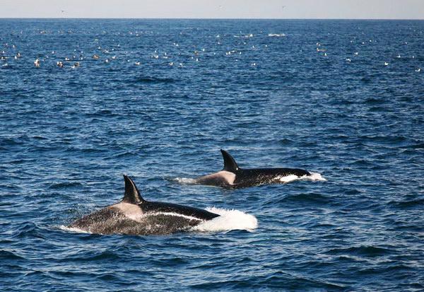 Неразгаданная тайна миграций касаток Dolphins_social_01