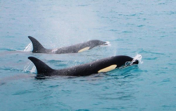 Неразгаданная тайна миграций касаток Dolphins_social_03