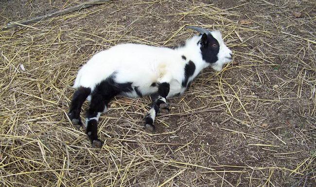 Обморочные козы (Fainting goat) Fainting_goat_03