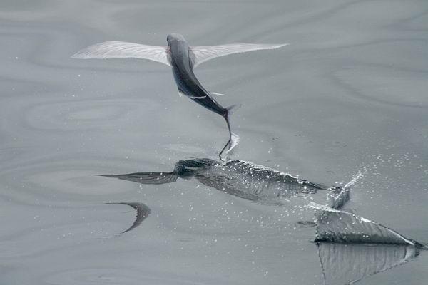 Летающие рыбы (Exocoetidae) Flying_fish_02