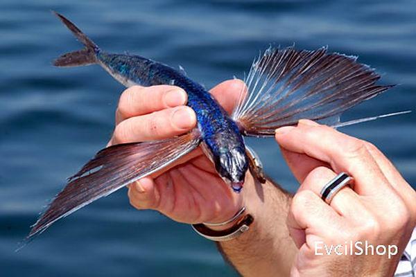 Летающие рыбы (Exocoetidae) Flying_fish_04