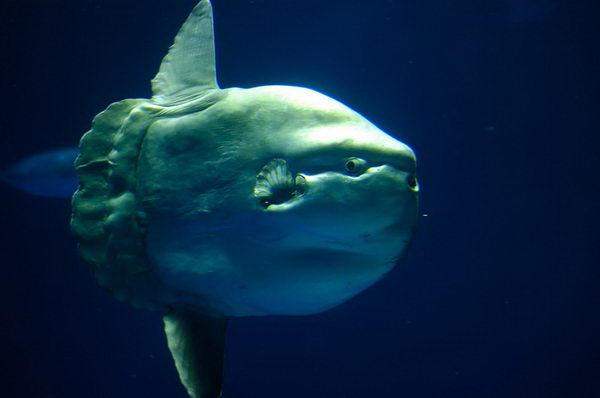 Рыба луна  Moonfish_01