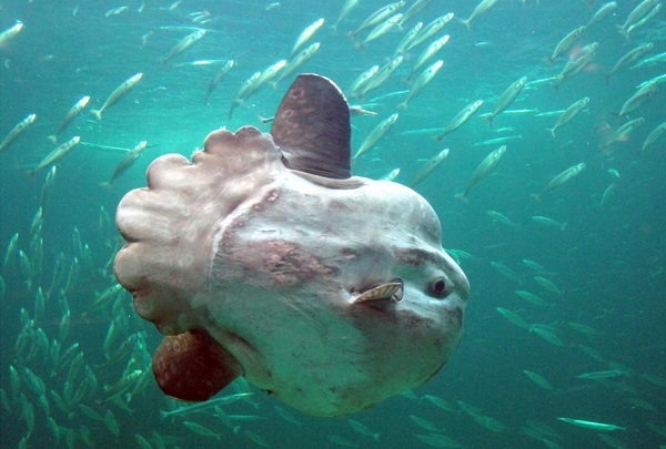 Рыба луна  Moonfish_06