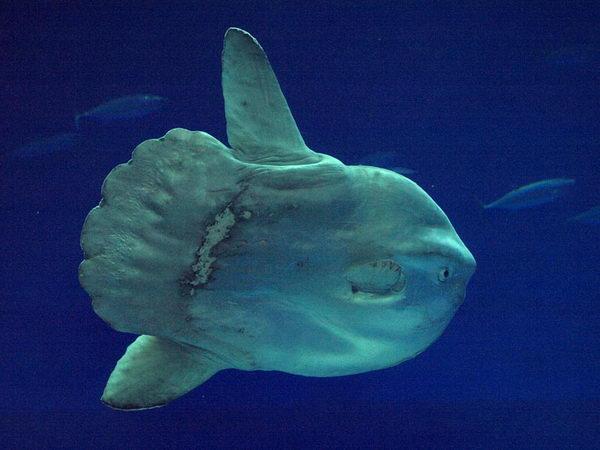 Рыба луна  Moonfish_07