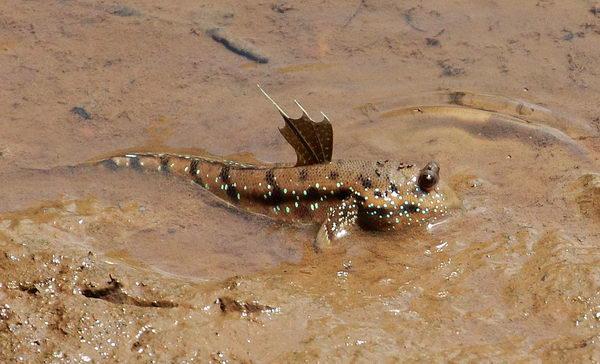 Илистый прыгун – удивительная сухопутная рыбка Periophthalmus_modestus