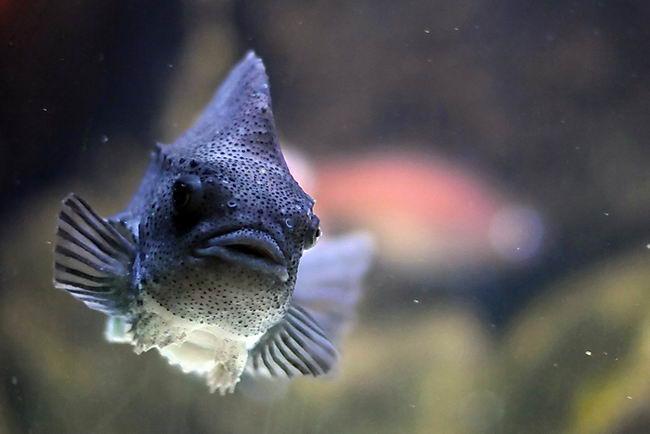 Рыба-воробей или пинагор (Cyclopterus lumpus) Cyclopterus_lumpus_01