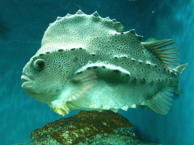 Рыба-воробей или пинагор (Cyclopterus lumpus) Cyclopterus_lumpus_02
