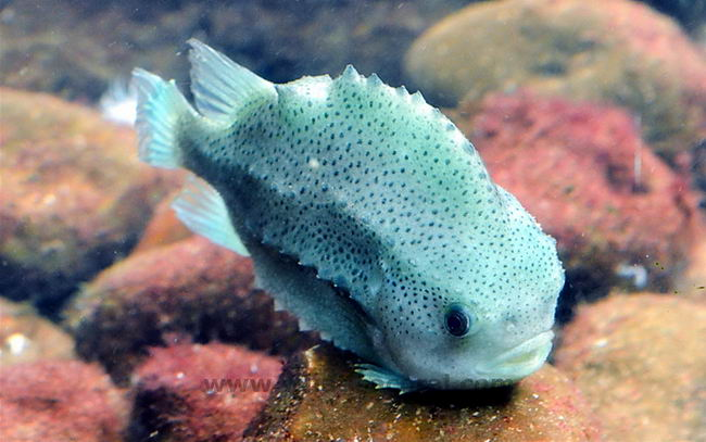Рыба-воробей или пинагор (Cyclopterus lumpus) Cyclopterus_lumpus_03