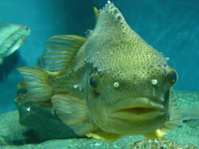 Рыба-воробей или пинагор (Cyclopterus lumpus) Cyclopterus_lumpus_04
