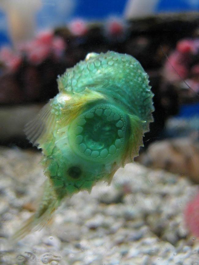 Рыба-воробей или пинагор (Cyclopterus lumpus) Cyclopterus_lumpus_05
