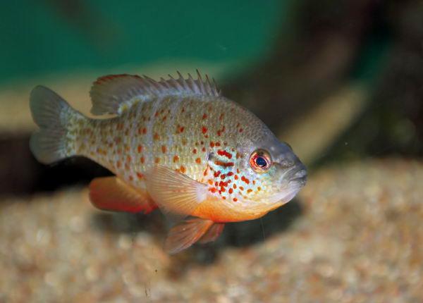 Солнечные рыбы или ушастые окуни (Centrarchidae) Lepomis_auritus_01