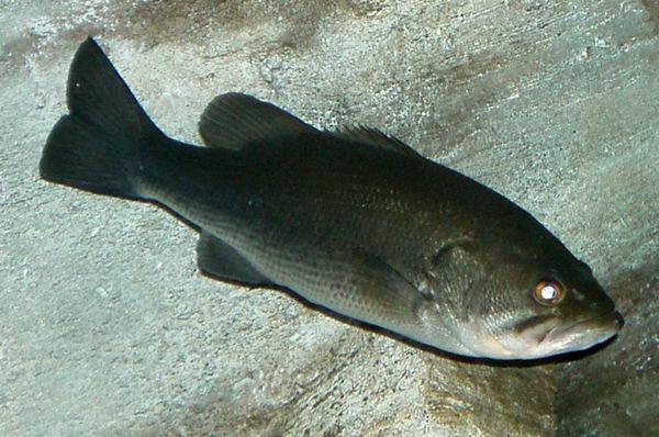 Солнечные рыбы или ушастые окуни (Centrarchidae) Micropterus_salmoides_01
