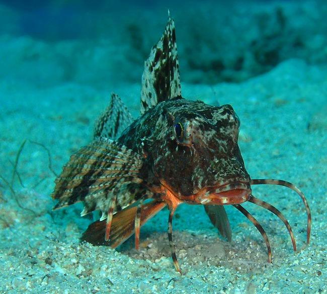 Морской петух (Trigla) Trigla_lucerna_05