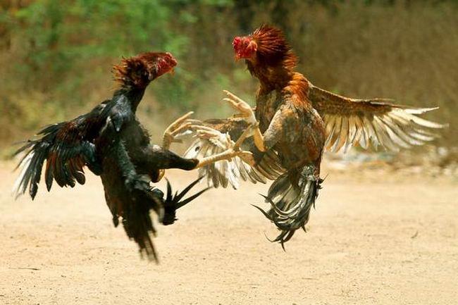 Петушиные бои Cock_fighting_01