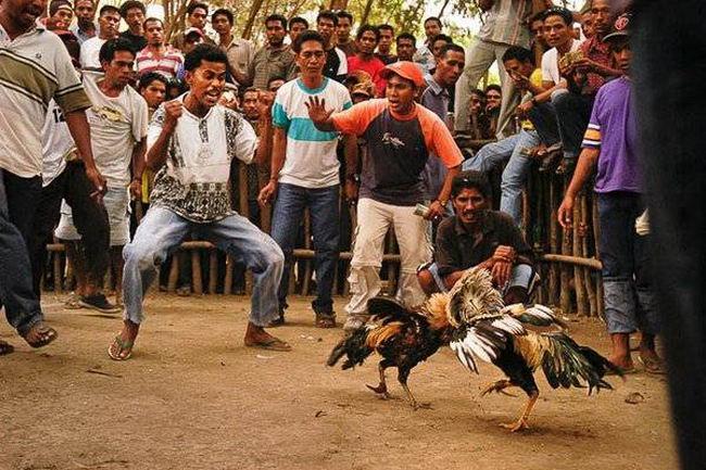 Петушиные бои Cock_fighting_10