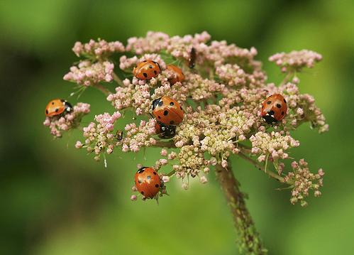Божья коровка - насекомое - хищник Ladybird_05