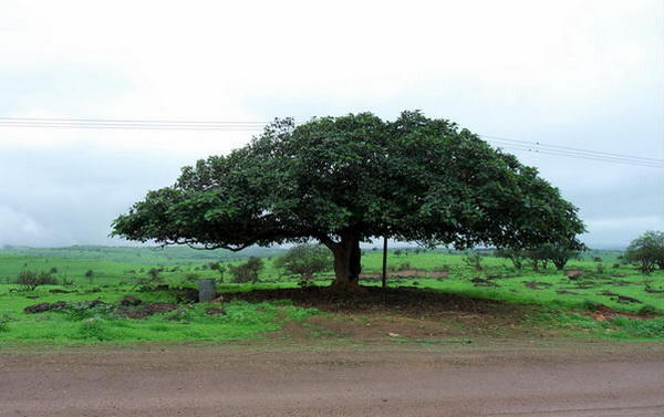 Сикомор  Ficus_sycomorus_02