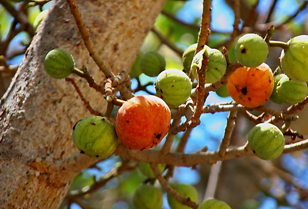 Сикомор  Ficus_sycomorus_04