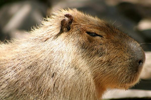 Капибара  Capybara_01