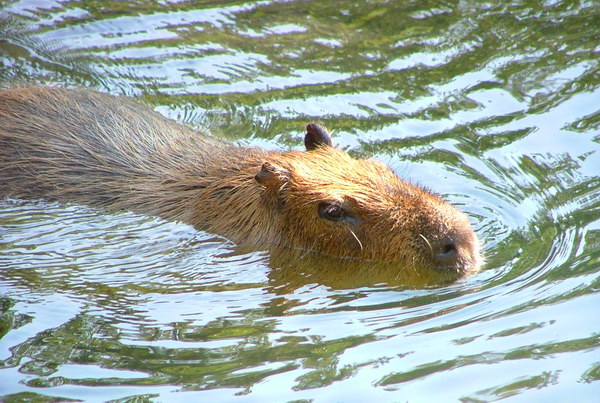 Капибара  Capybara_02