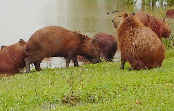 Капибара  Capybara_05
