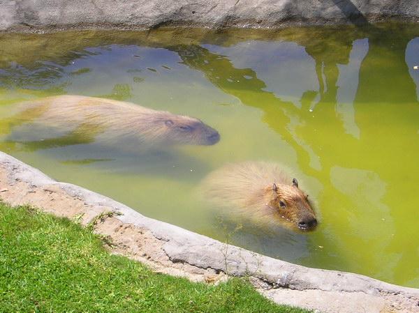 Капибара  Capybara_06