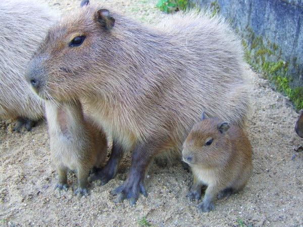 Капибара  Capybara_07