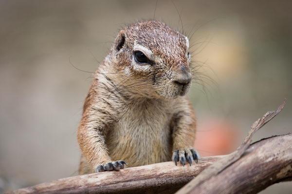 Земляная белка Gr_squirrel_01